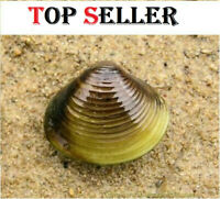 50 Live Freshwater Clams (Random Size) natural algae control filter feeders.