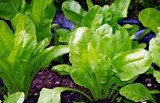 PERPETUAL SPINACH 50+ seeds silverbeet BABY LEAF disease resistant vegetable