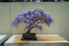Tree Wisteria - Bolusanthus Speciosus - 40 Bonsai Seeds