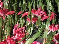 Christmas Cactus Schlumbergera Buckleyi Old Fashion 6 fresh cuttings 4 Segments