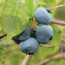 Blueberry Fruit Hardy Shrub Garden Plant Brigitta Late Season in 3L Pots T&M