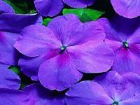 50 Impatiens Seeds Cascade Beauty Lavender (trailing) Flower Seeds