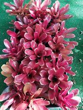 6 Neoregelia Red Fireball Bromeliad Tillandsia Plant Color Reptile Cage Decor z1