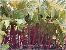 Begonia pedatifida Red Petioles ° 1 plant ° rustique.docx