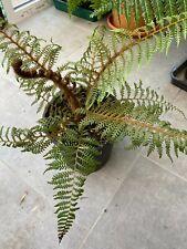 Cyathea tomentosissima