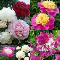 10Pcs Seeds Peony Flowers Rare Paeonia Kinds Beautiful Bonsai Plants in Garden