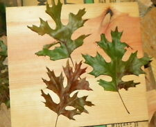 Genuine Maple oak tree seed ling 8 to 10 inches tall quercus acerifolia