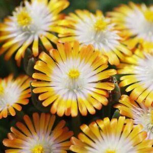 3x Delosperma Jewel of Desert Topaz Flower Succulent Well Rooted Plug Plants