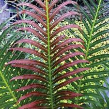 Blechnum Brasiliense Fern in a 13cm Pot. Brazilian Tree Fern