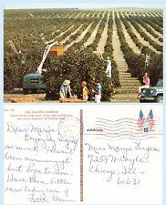 Orange Grove near St Petersburg Florida 1941 Postcard