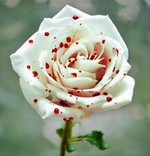 Rose Shrub Flower Rare Red Spot White True 50 Seeds Fragrant Garden Plant Flower