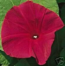 SCARLET O'HARA MORNING GLORY Red Imopea Nil Flower Vine 5 Seeds