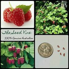 30+ ORGANIC LOGANBERRY SEEDS (Rubus x loganobaccus) Edible Fruit Berry Shrub