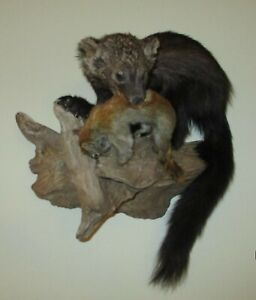 TAXIDERMY [ Fisher Cat with Red Squirrel Mounted on Wooden Knot ] **NEW