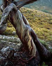 2 Eucalyptus coccifera Snow Gum Firewood Coppice Hardy Evergreen Tree / Hedging