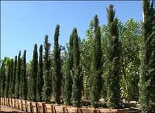20 Cupressus Sempervirens Italian Cypress Hardy Popular Evergreen Tree Seeds
