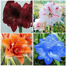 2Pcs Amaryllis Bulbs Bonsai Garden Seeds Hippeastrum Flowers Indoor Plant Seed
