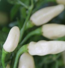 Pimiento habanero blanco muy picante Pepper 30 semilla