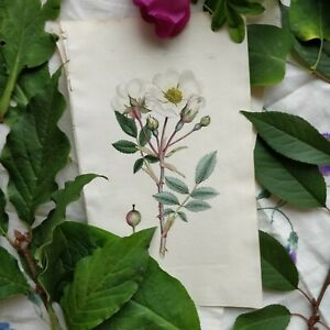 2 Antique Botanical Prints J. Sowerby 1796 Wild Roses Free Shipping