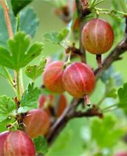 1 Jahns Prairie Gooseberry live rooted starter plant, edible Shrub zones 3-8.