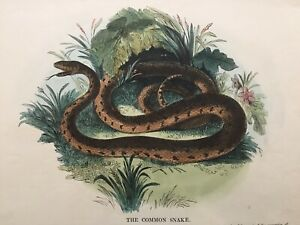 1845 Antique Print; The Grass Snake or Common Snake by SDUK