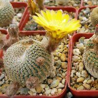 Lobivia famatimensis Cactus Cacti Succulent Real Live Plant