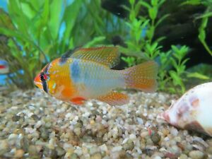 6 German Blue Ram Cichlid Juvenile - 1.25 inch - Bred in USA - Free Shipping