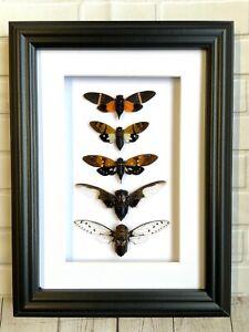 5 Cicadas Display Deep Shadow Box Frame Beetle Insect Bug Planthopper Lanternfly