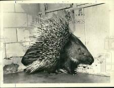 1972 Press Photo African Porcupines at Mammal Collection in Staten Island Zoo