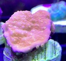 New listing Live Coral Sunfire Montipora Monti frag