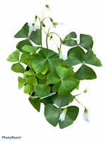 "Oxalis Green - 4"" Pot - Shamrock Plant!"