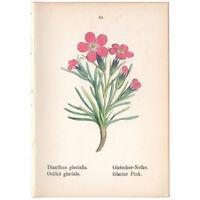 Alpine Flowers antique 1879 hand-colored lithograph Pl 84 Glacier Pink