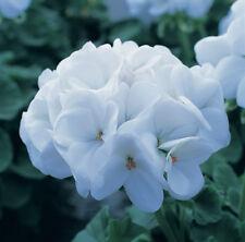 24 Geranium Horizon White Pelargonium Mini Plug Plants for potting on.