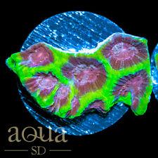 New listing Asd - 081 Fantastic Planet Favia - Wysiwyg - Aqua Sd Live Coral Frag