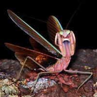 2X!! Praying mantis Giant Carolina  (L2-L3) Comes With Temp Hm