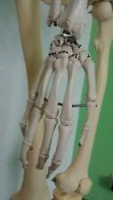 anatomisches Modell, Lehrskelett der Firma Erler-Zimmer, Studenten/PhysioSchüler