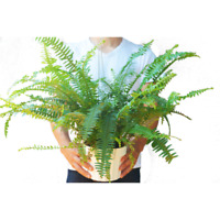 "Jester's Crown Fern - Live Plant - FREE Care Guide - 6"" Pot - 18"" Tall"