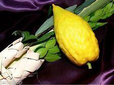12 Rare Etrog Citron Israeli Fresh Seeds Citrus Medica Esrog Kosher Sukkot אתרוג