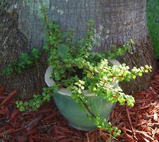Elephant Bush - Portucalaria Afra Solid Green Bonsai – Mini Jade Tree Plant