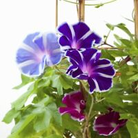 Morning Glory 'Two-Tone mix'  - Ipomoea tricolor - 56 seeds