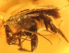 Coléoptère Insecte Fossile en Ambre de la Baltique +PHOTO GRATUITE ir89