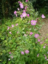 ORGANIC ENGLISH NORFOLK GREAT WILLOW HERB,WILD FLOWER,COTTAGE GARDEN FLOWER