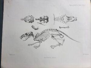 c1890 Pectinator Spekei African Rodent Antique Print ANATOMY Original Lithograph