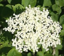 1 Elder Flower Hedge Plant 2-3ft,Make Elderberry Wine & Elderflower Lemonade