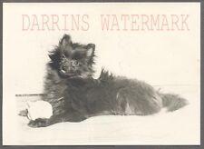 Vintage Photo Cute Black Pomeranian Puppy Dog 268930