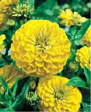 Zinnia- Canary Bird Yellow- 100 Seeds