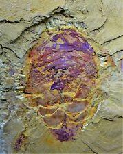 Ultra Rare Leanchoilia obesa, Lower Cambrian Arthropod, Chengjiang Biota 30mm