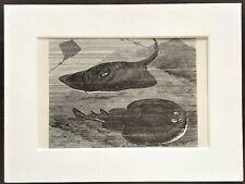 Skate & Electric Ray Fish Print - 1893 Mounted Antique Black & White Engraving