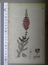English Botany, Smith, Sowerby, handcoloured copperplate, 559*, 3.Edition,1850.