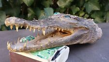 Tête crocodile alligator naturalisé gueule ouverte Étrange, curiosité Long 20 cm
